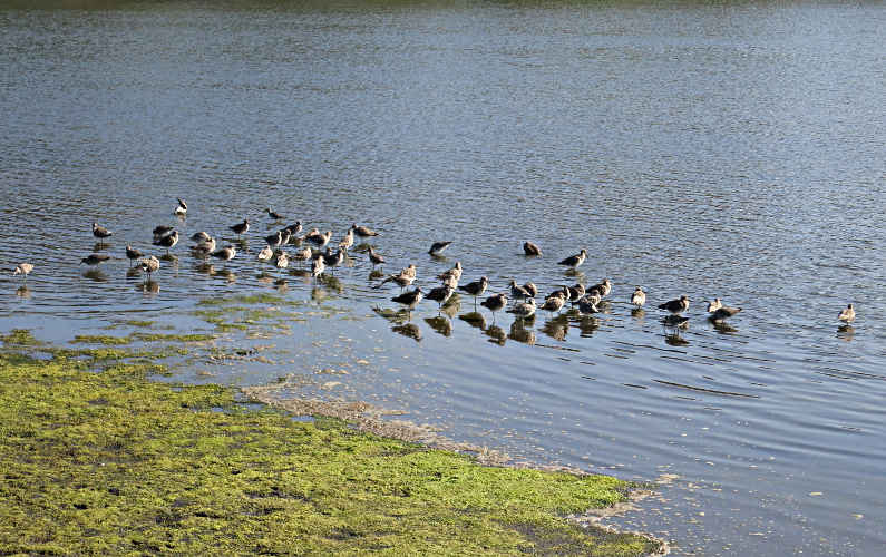 A Flock of Birds Drinking a the Waters Edge at Elkhorn Slough