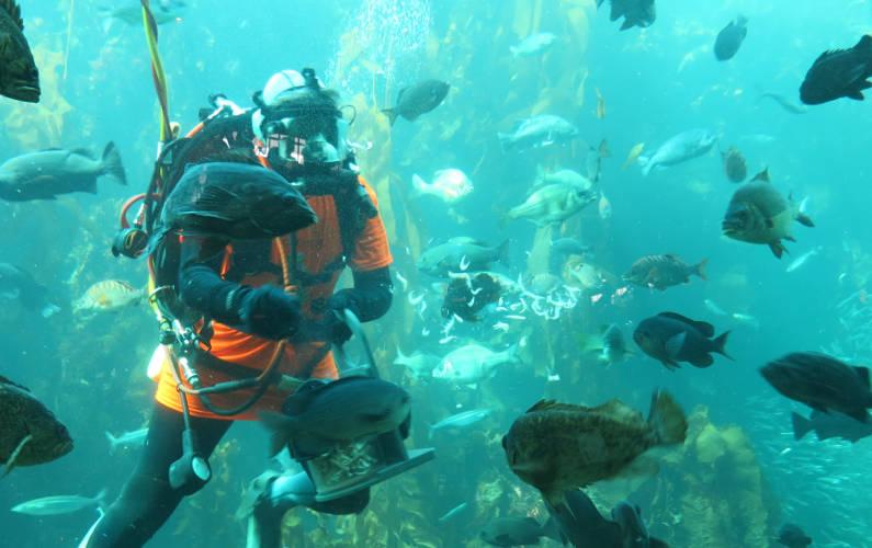 Monterey Bay Aquarium Diver Feeding the Fish