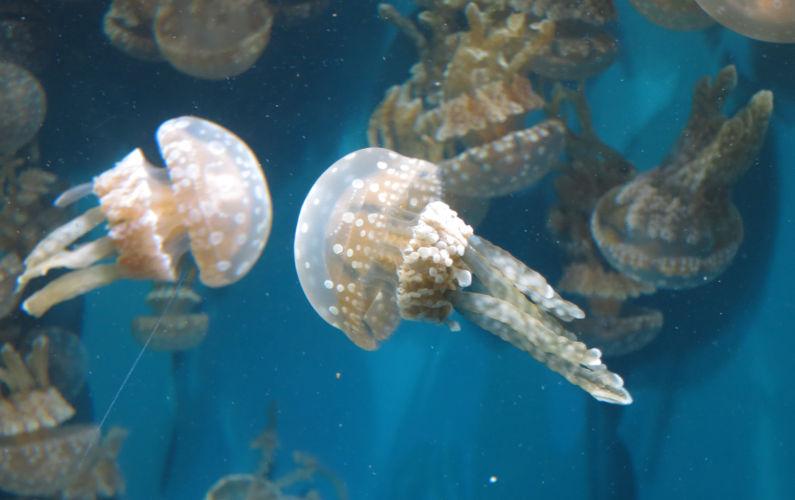 Close Up of Polka Dotted Jellyfish at Monterey Bay Aquarium