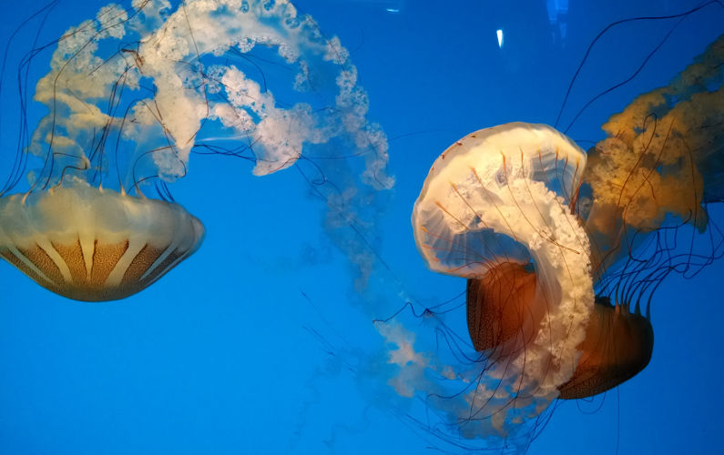 3 Large Jellyfish at Monterey Bay Aquarium