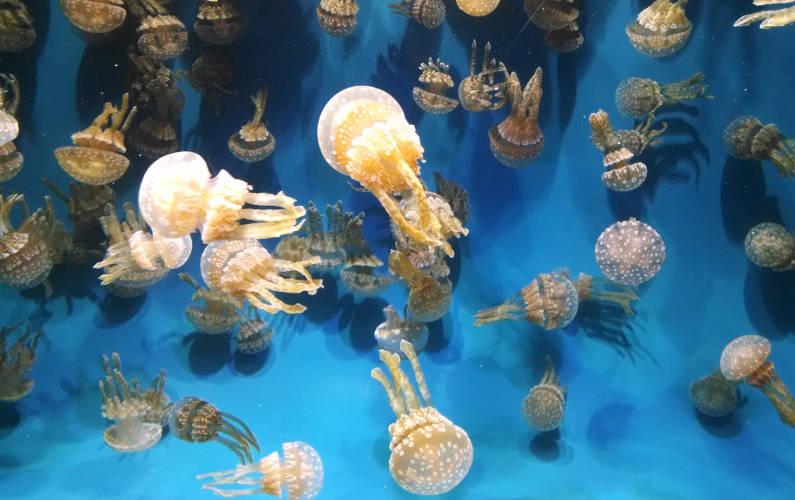 Polka Dotted Jellyfish at Monterey Bay Aquarium
