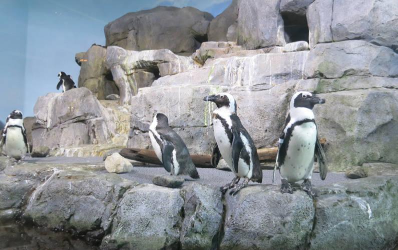 Penguins on Exhibit at the Monterey Bay Aquarium