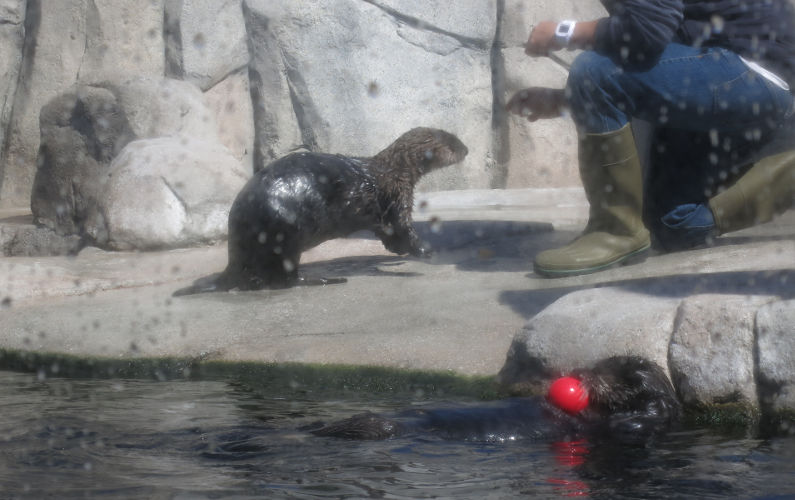 Sea Otters Interacting with Their Trainer at Monterey Bay Aquarium