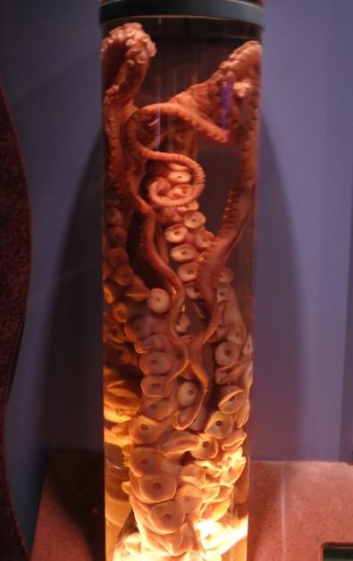 An Octopus in a Jar at Monterey Bay Aquarium