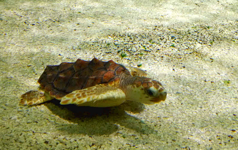 A Baby Sea Turtle Swimming Along the Sand Floor at Monterey Bay Aquarium