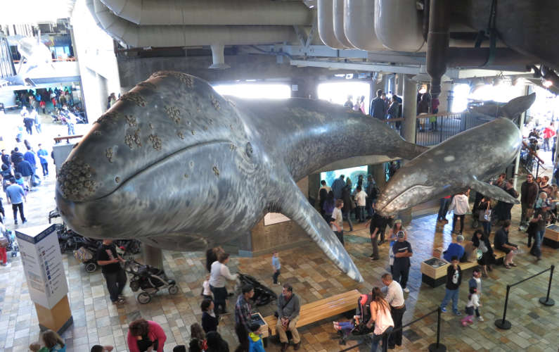 Whale Statue Hanging Overhead in the Monterey Bay Aquarium Lobby
