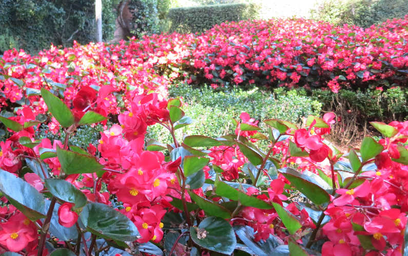Red Flowers at Filoli at Filoli