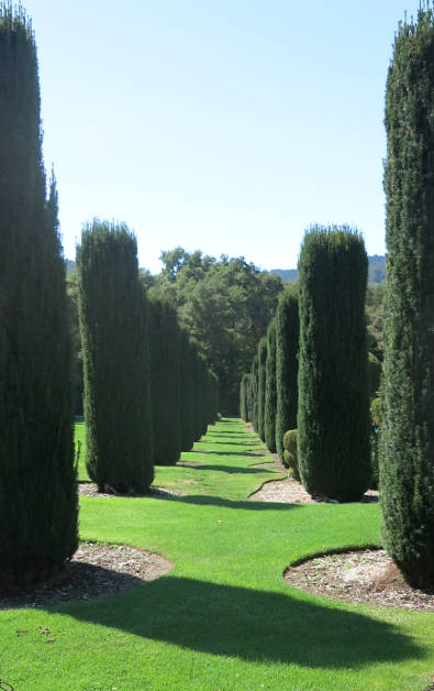 Rows of Shaped Bushes Forming a Path at Filoli