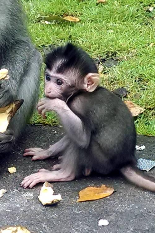 Baby Monkey Forest Bali 02