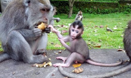 Balinese Baby Monkey Are SO CUTE!