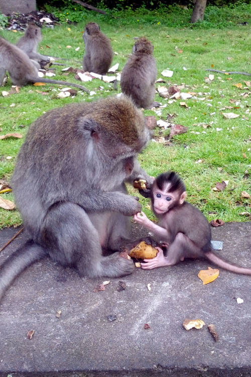 Baby Monkey Forest Bali 06