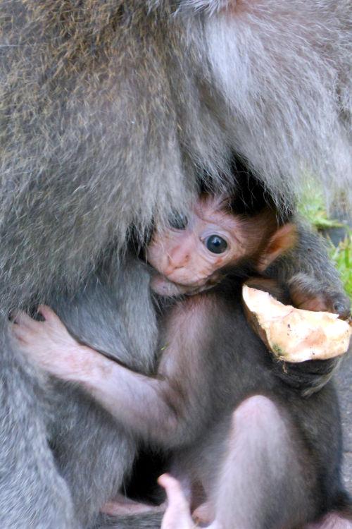 Baby Monkey Forest Bali 07