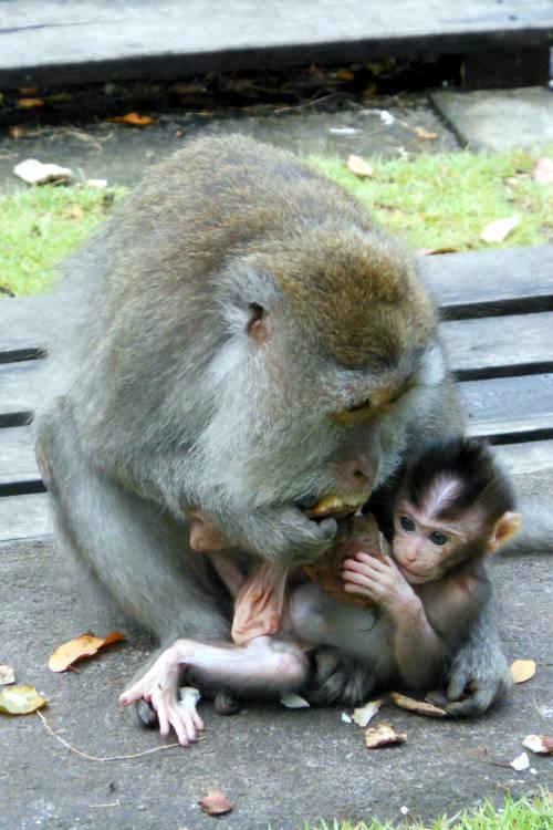 Baby Monkey Forest Bali 08