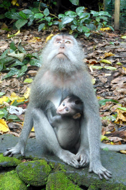 Baby Monkey Forest Bali 09
