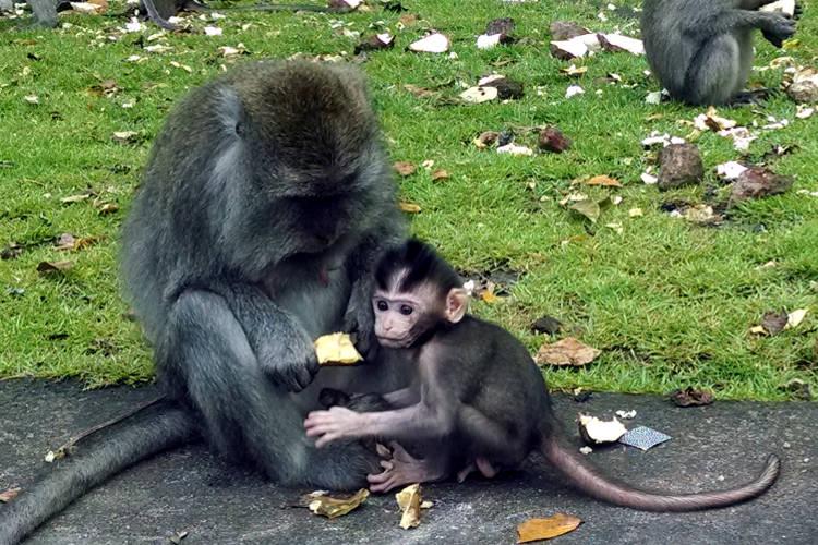 Baby Monkey Forest Bali