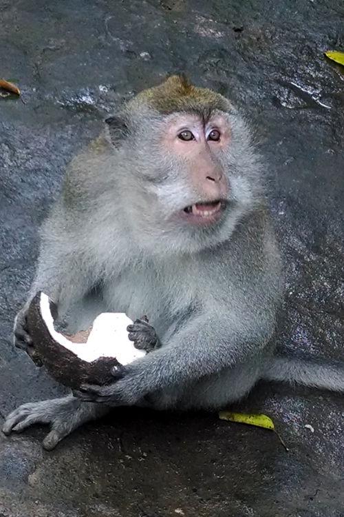 Coconut Monkey Forest Bali