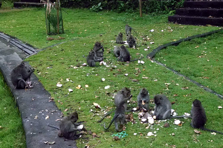 Group Monkey Forest Bali