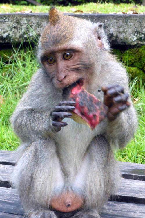 Im Eating Monkey Forest Bali 02