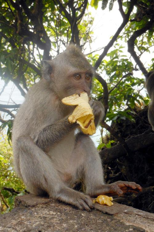 Monkey Tanah Lot Temple Bali Tour