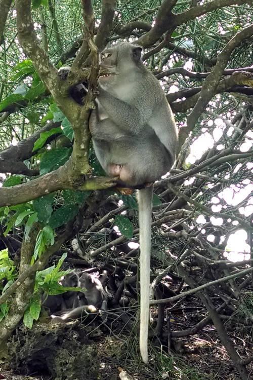 Monkey Uluwatu Temple Bali Tour 02
