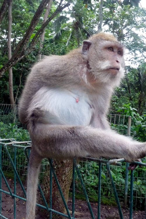 Scratching Monkey Forest Bali