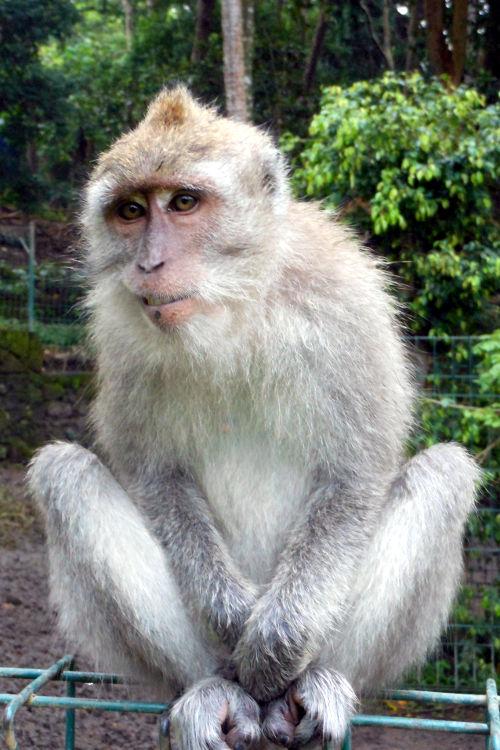 Unamused Monkey Forest Bali