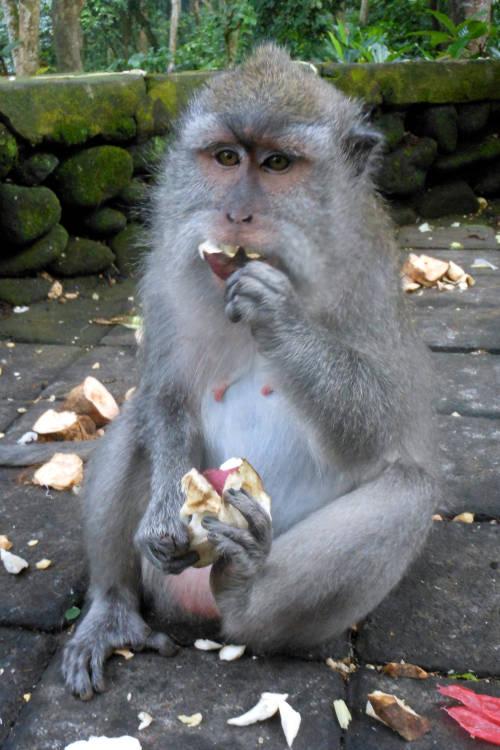eating Monkey Forest Bali 03
