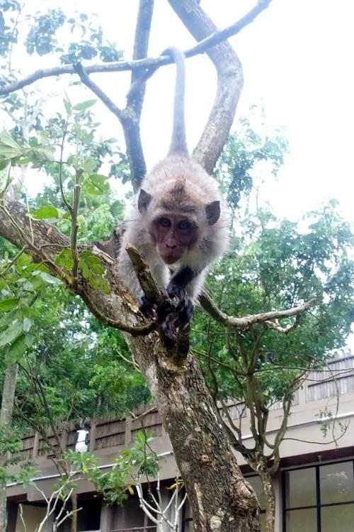 hanging Monkey Forest Bali