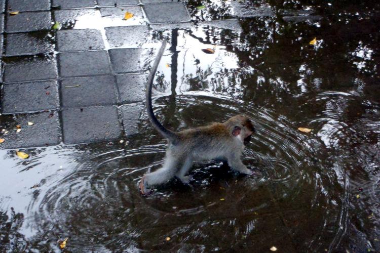 water Monkey Forest Bali 02