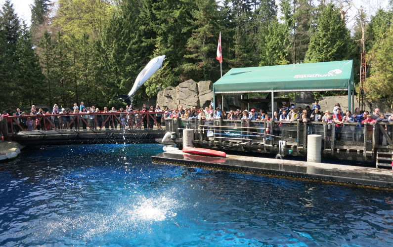 Dolphin Jumping Out of the Water at the Vancouver Aquarium