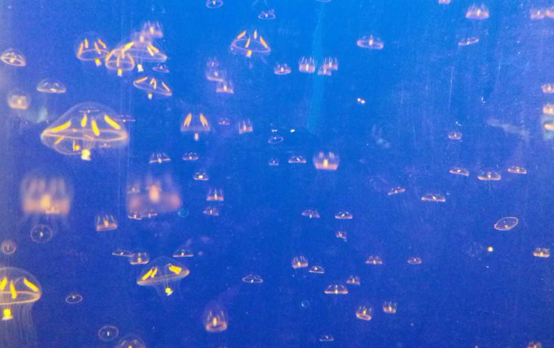 Small Bright Pinkish Jellyfish at Vancouver Aquarium