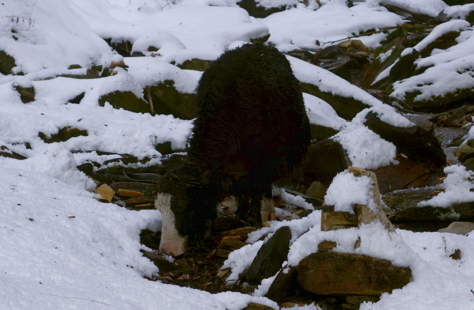 A Baby Cow Sipping Water From the Snow Covered Stream in Nepal