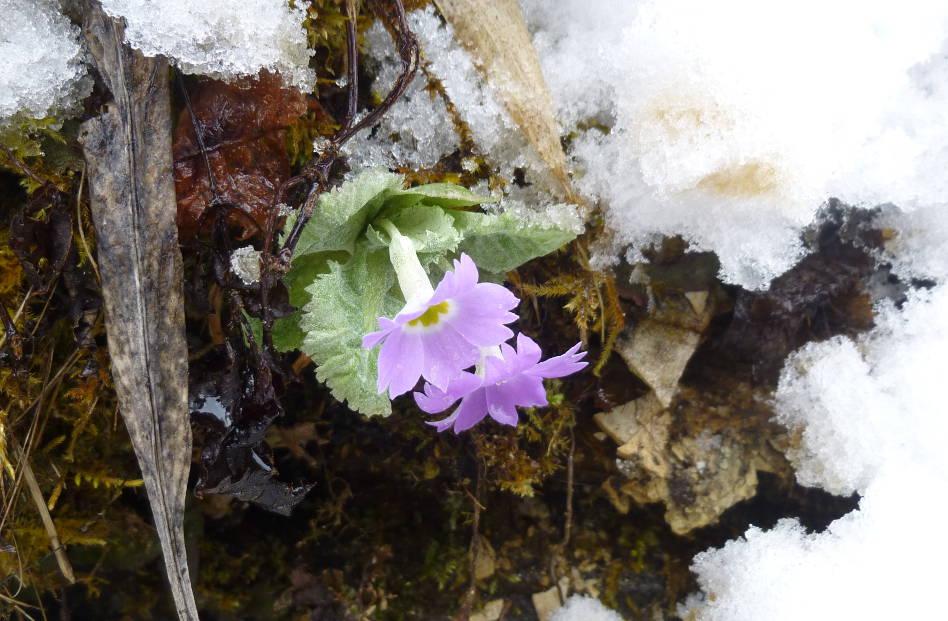 Purple Primulas Breaking Through the Snow Pokhara, Nepal