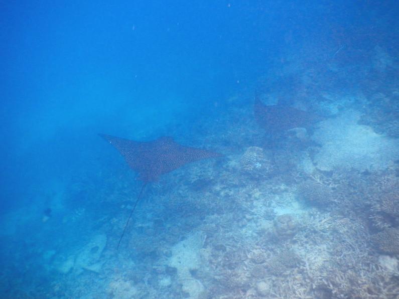 2 Stingrays Swimming Through the House Coral at the Conrad Maldives