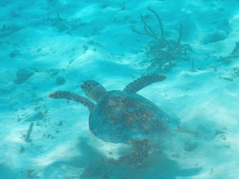 Swimming Turtle in the House Coral at the Conrad Maldives