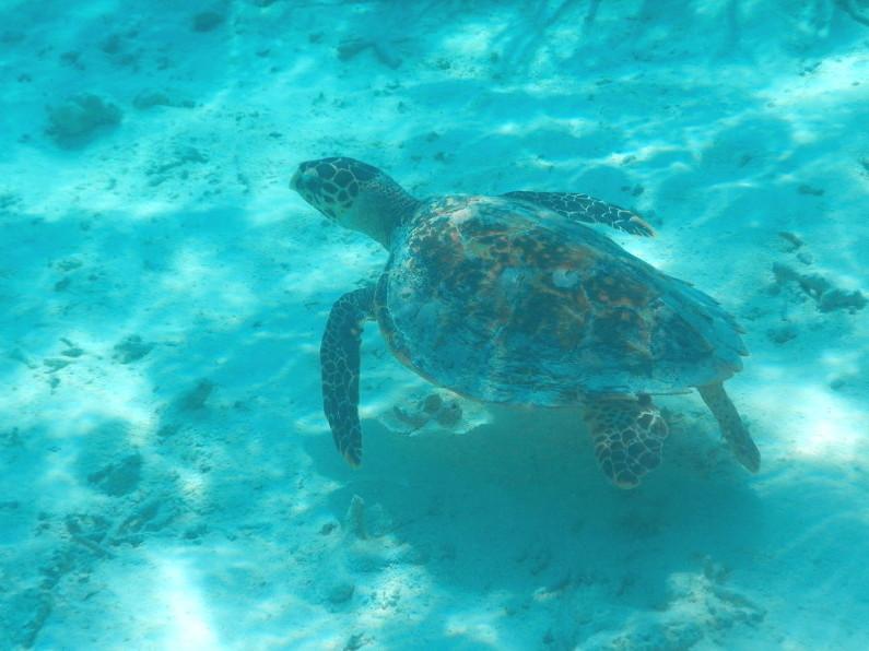 Turtle in the house coral at the Conrad Maldives