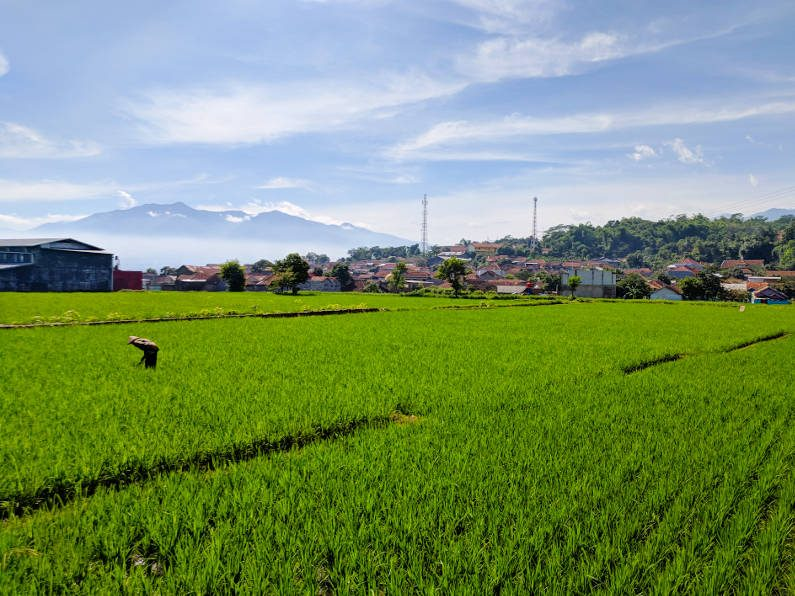 Rice Field in Bandung