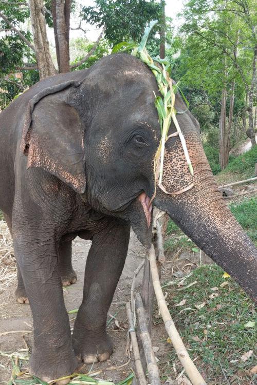 Happy Elephant of Chai Lai Chiang Mai 2019